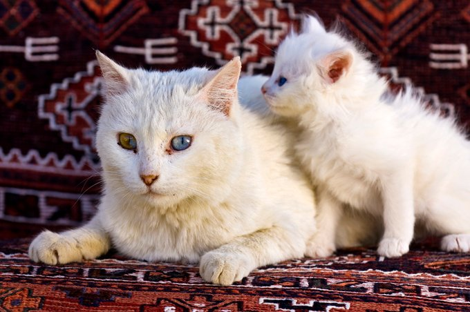 Image result for angora cat