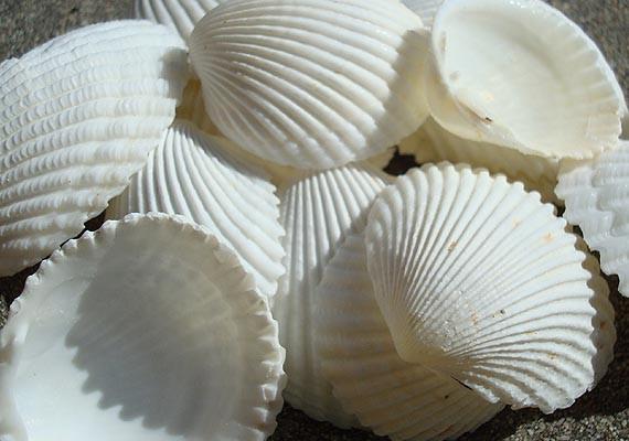 coco clam seashells 20