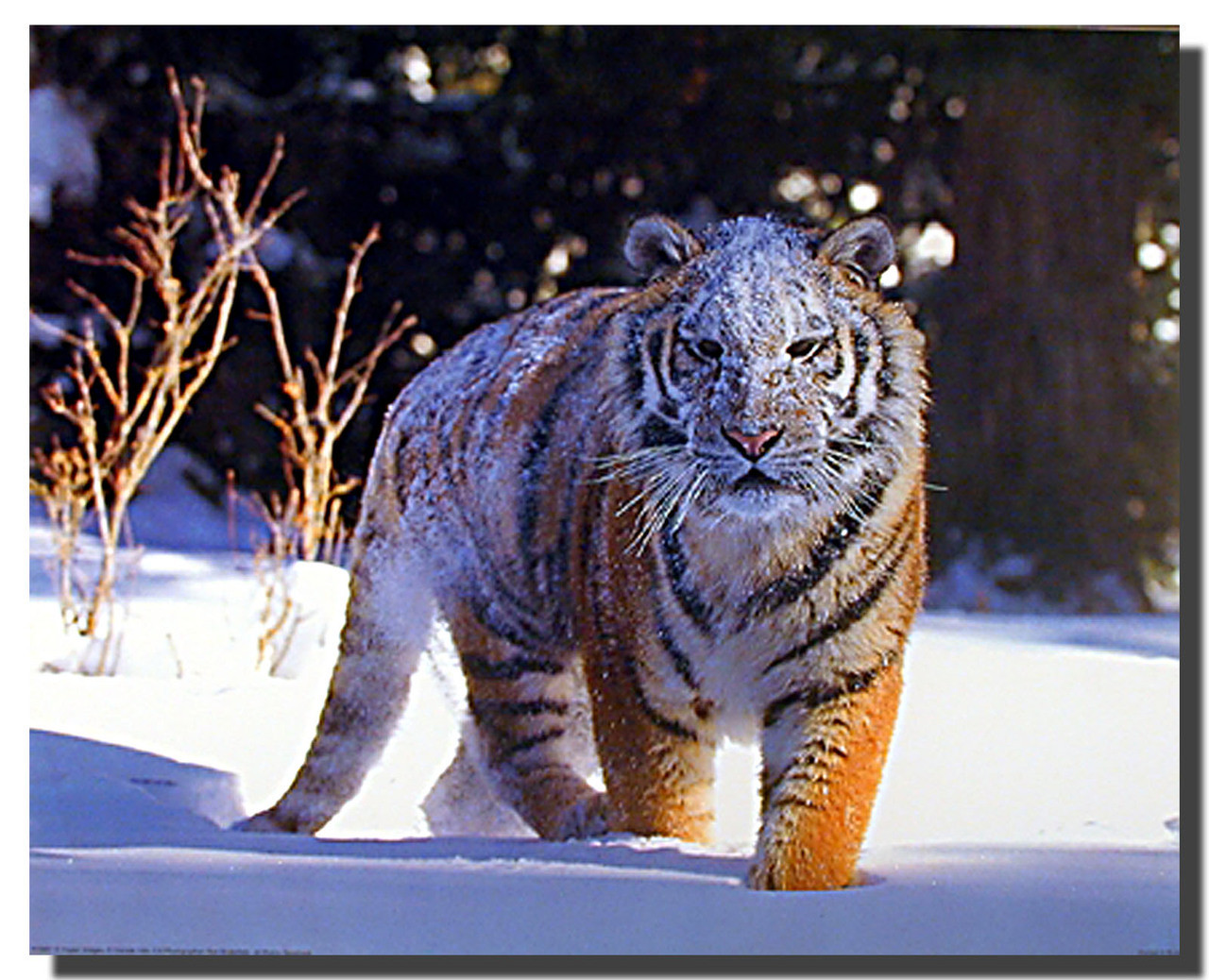 Siberian Tiger Snow Poster Animal Posters