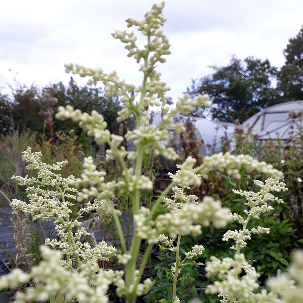 Artemisia vulgaris 'Mugwort White'   Buy Herb Plants