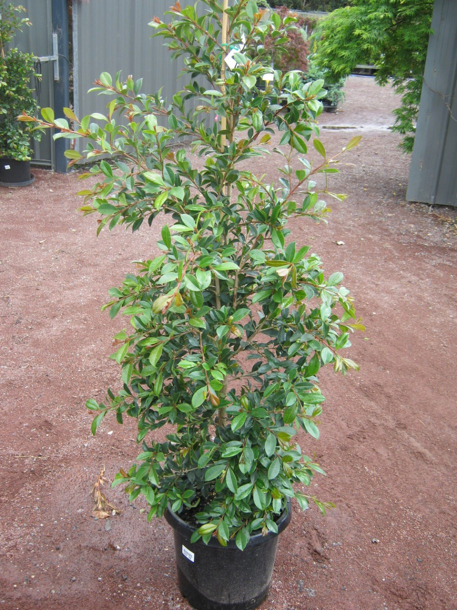 Lilly pilly backyard bliss 30cm - Grow Master Heatherton