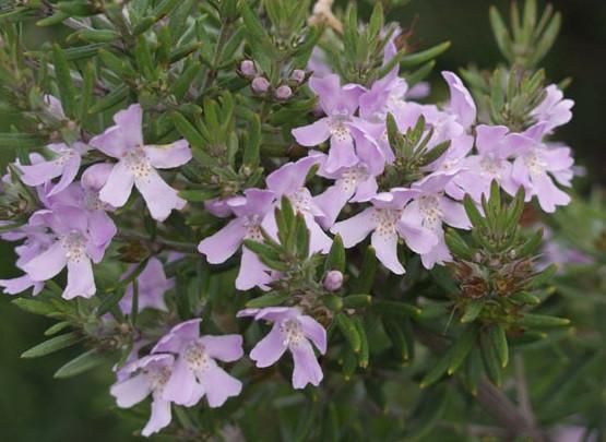 Online Plants Melbourne Coastal Rosemary