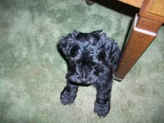 Adoption Corgi Purebred Welsh Dogs