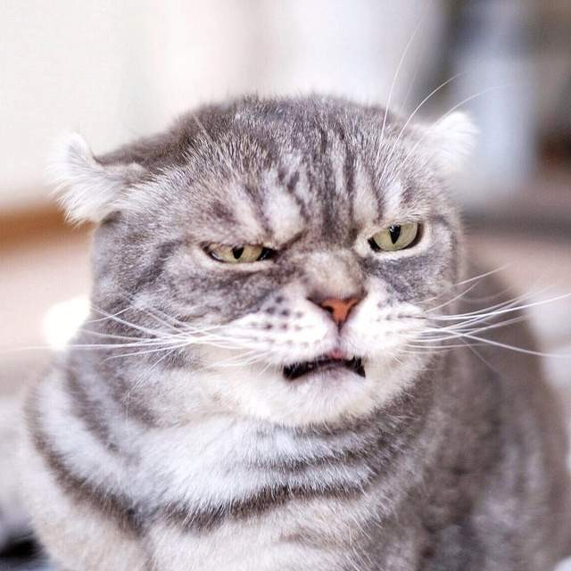 「最總裁」霸氣臭臉貓!牠看起來隨時都在罵員工.. | 深海大花枝 | 鍵盤大檸檬 | ETtoday新聞雲