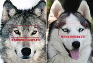 「蒙古草原狼」被當狗養7年!是狼是狗 眼睛尾巴可辨   ETtoday大陸   ETtoday新聞雲