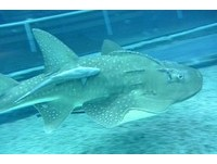 【照片】屏東海生館鮣魚「黏魚功夫」好厲害 | 總覽 | ETtoday圖集 | ETtoday新聞雲