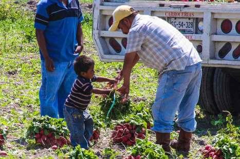 Trabajan 690 mil menores en el campo mexicano, señala investigación