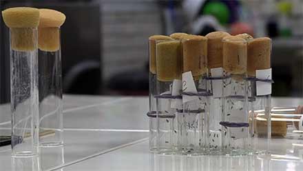 Mosquitos atrapados en tubos de ensaye de laboratorio