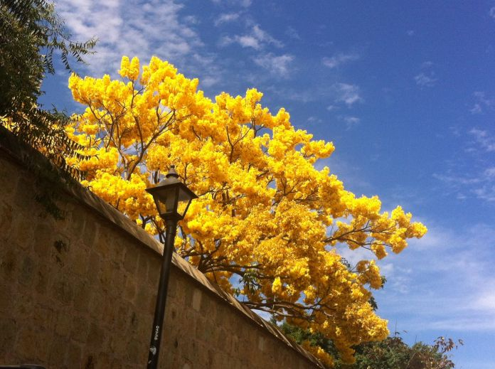 The flowering of the guayacán occurs between the months of December and January, it reaches more than 15 meters.  Photo: Patricia Briseño / Correspondent