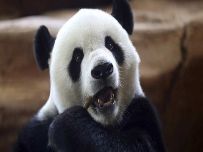 Panda juega con cuchillo; lo confundió con tallo de bambú