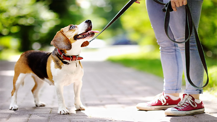 Small dog with a leash looking up at the person walking them