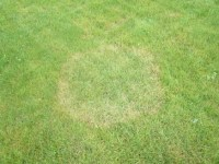 Lawn Care Fungus: Treating & Preventing Ring Spot