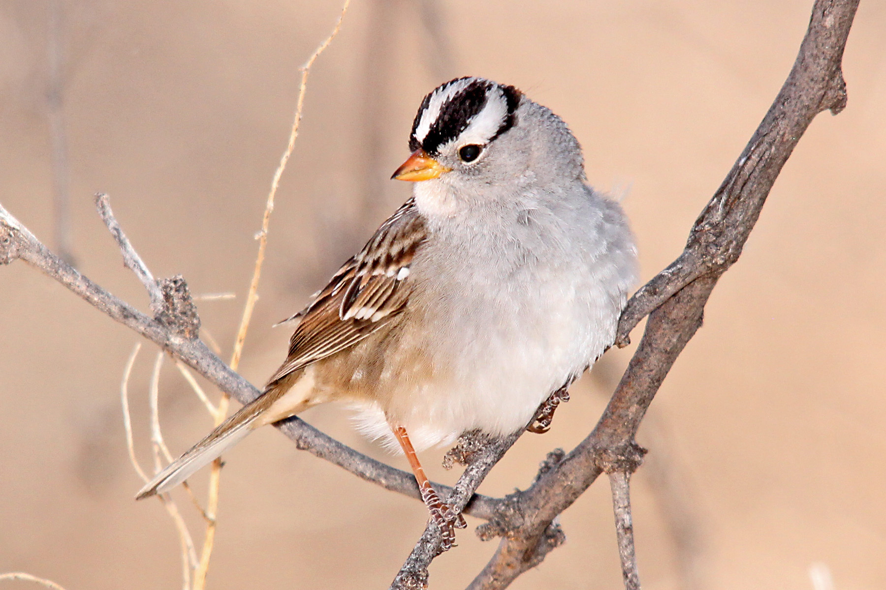 All About Birds Whitecrowned Sparrow