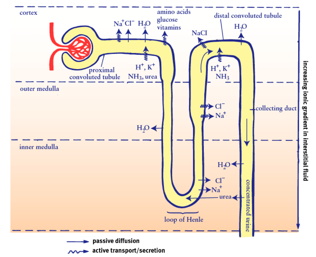 Nephron Diagram From A Textbook 2016 Ford Fusion Radio Wiring Of Human Kidney And Chart Ureter