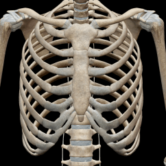 Diagram Of Skeletal Ribs 69 Mustang Under Dash Wiring 3d System Bones The Thoracic Cage