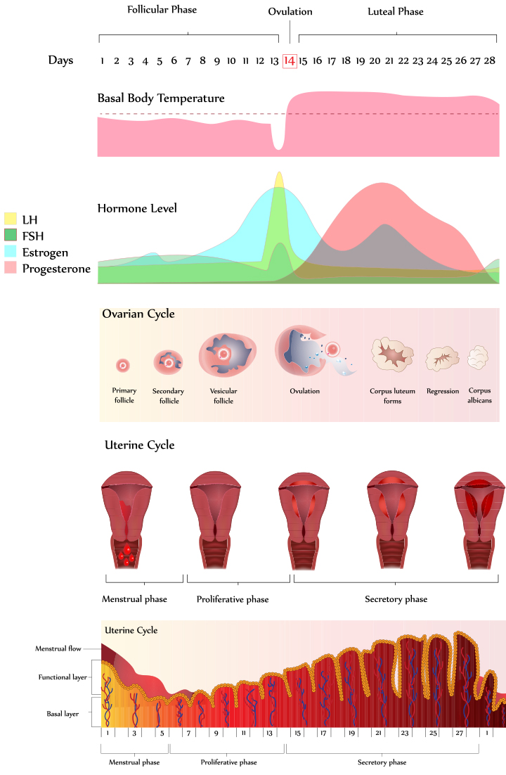 Stages Of Menstrual Cycle