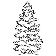 Spruce Tree Page Coloring Pages