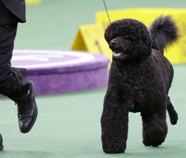 Matisse A Portuguese Water Dog Is Shown Feb 11 Competing In The Working