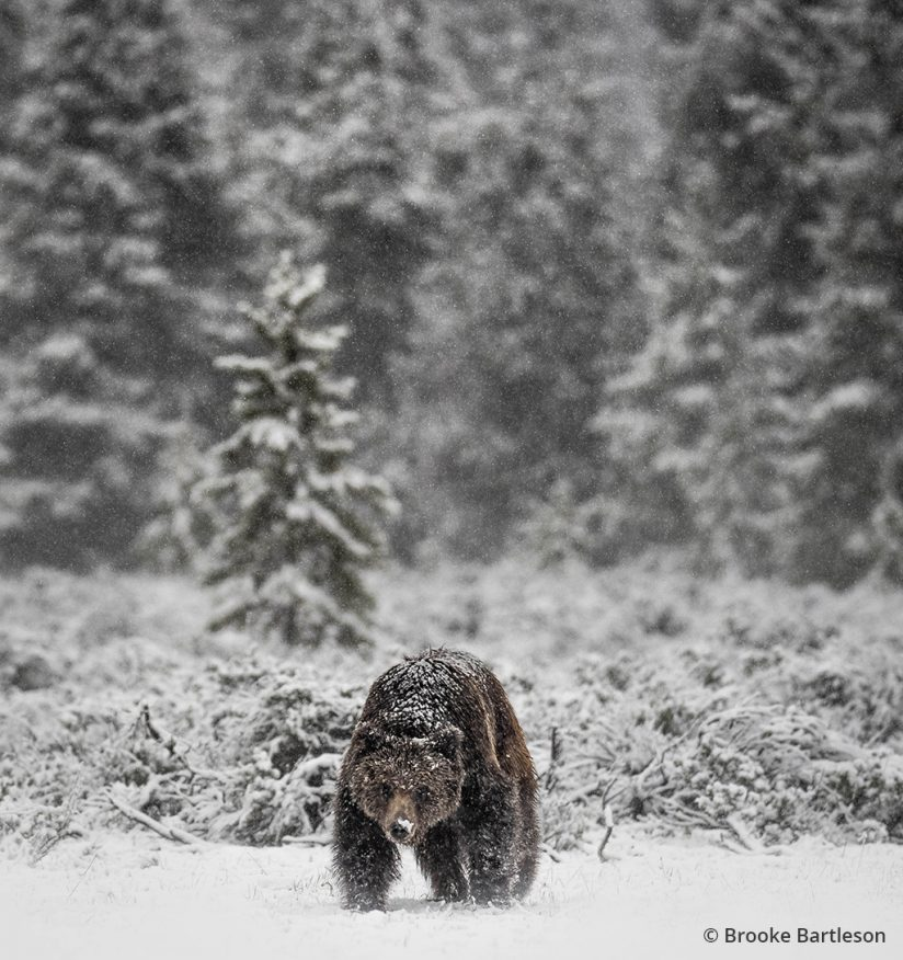 Image of a grizzly bear in snow.