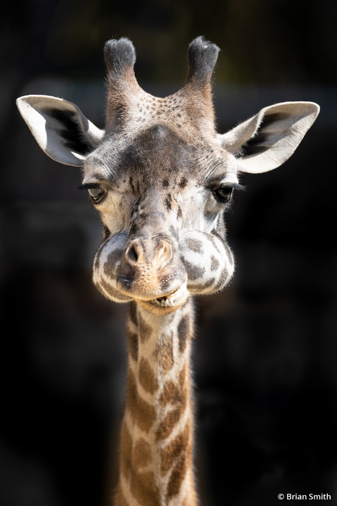 Image of a giraffe taken with the Sony Alpha 1.