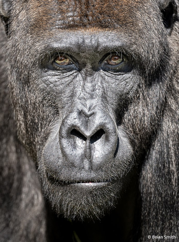 Image of a gorilla at the Los Angeles Zoo taken with the Sony Alpha 1.