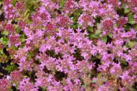 Magic Carpet Creeping Thyme - Plant Library - Pahl's ...