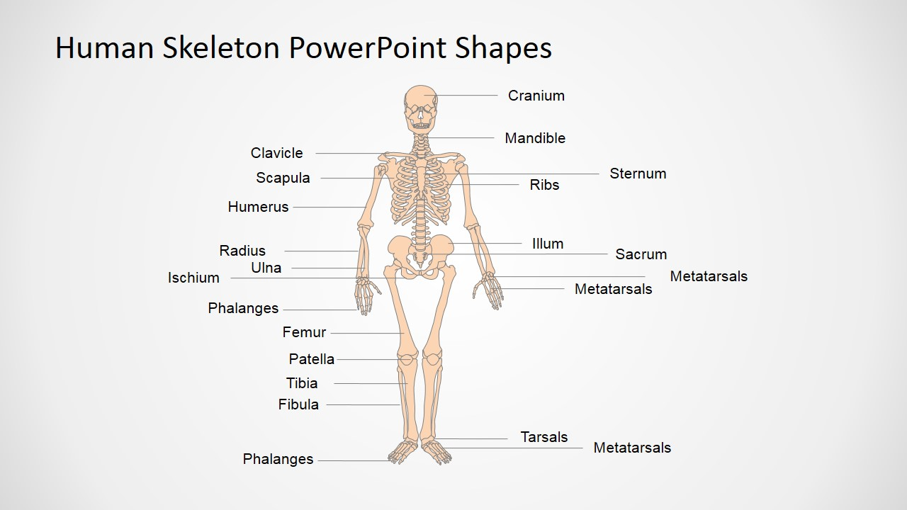 hight resolution of human anatomy presentation template anatomy and physiology presentation in powerpoint