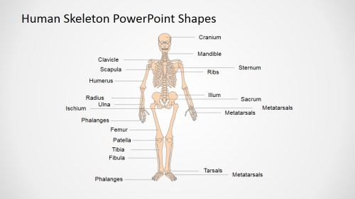 small resolution of human anatomy presentation template anatomy and physiology presentation in powerpoint