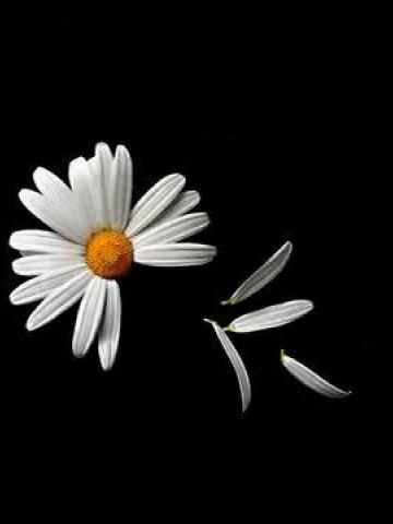 Ed Hardy Iphone Wallpaper Flower Petals Falling Wallpaper Iphone Blackberry