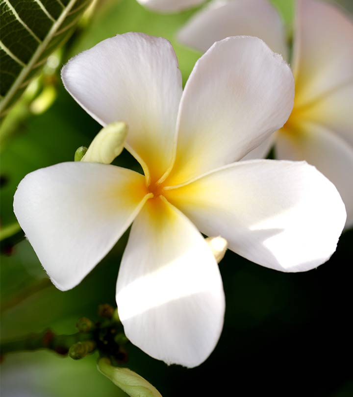 Rajnigandha Flower Hd Wallpaper Top 25 Most Beautiful White Flowers