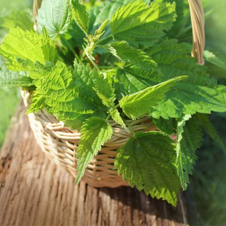 Herbs To Cure Arthritis - Nettles