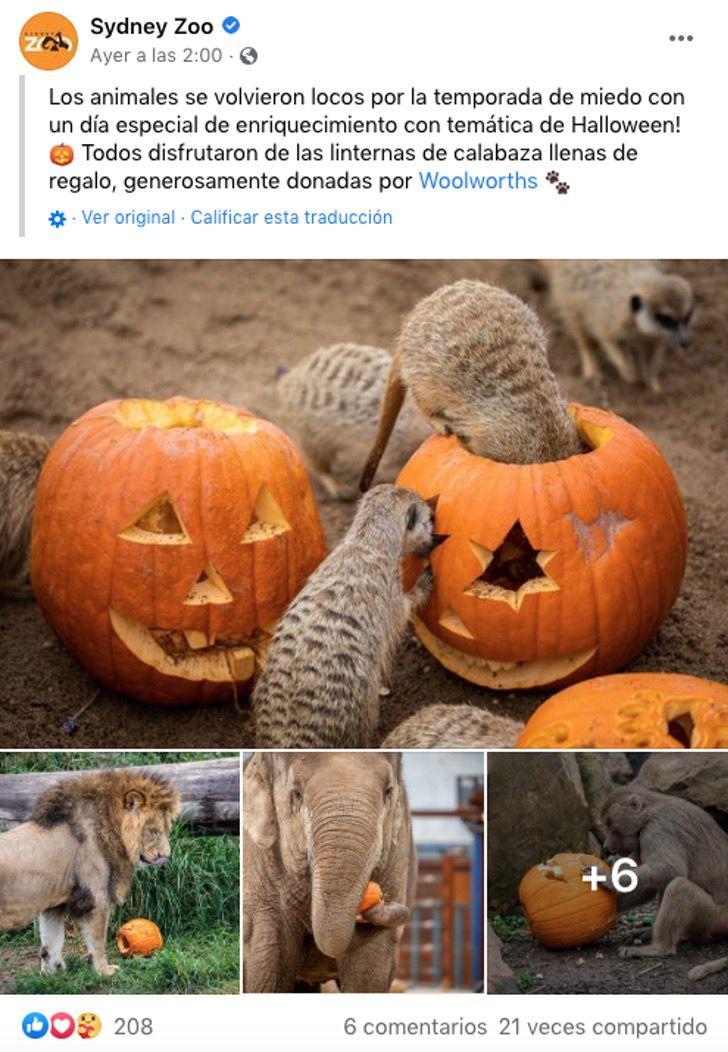 australia sidney zoologico halloween octubre brujas calabazas0003 - Animales disfrutaron de Halloween en zoológico de Australia. Hasta los carnívoros comieron calabazas