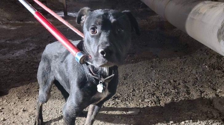 Captura de Pantalla 2020 12 02 a las 16.09.04 - Encuentran perro que pasó 6 semanas extraviado en una obra de construcción. Se escondió por miedo