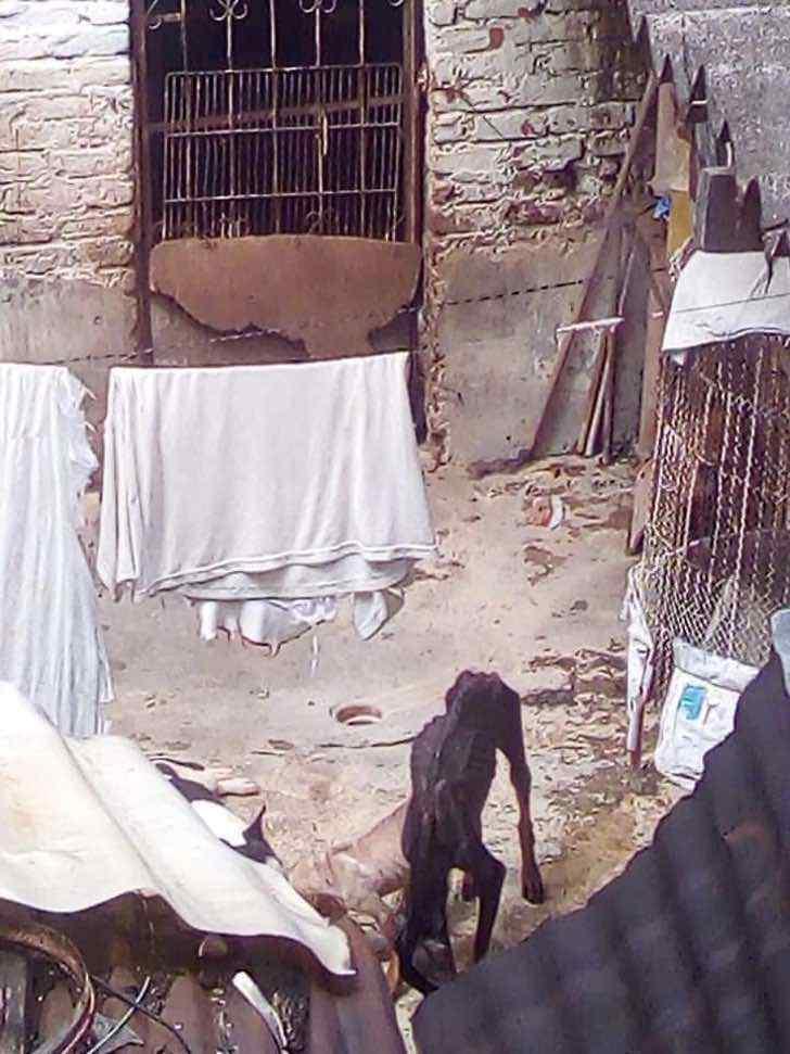 perro maltrato colombia cali criadero maltrato0005 - Logran cerrar criadero clandestino de perros en Cali, Colombia. Más de 60 animales eran explotados