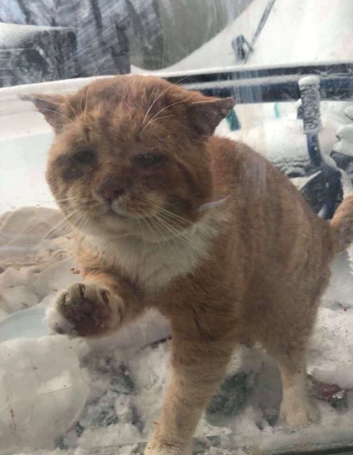 scale 6 - Gato callejero toca la ventana de una mujer para rogar que lo dejara entrar. Ya no soportaba el frío