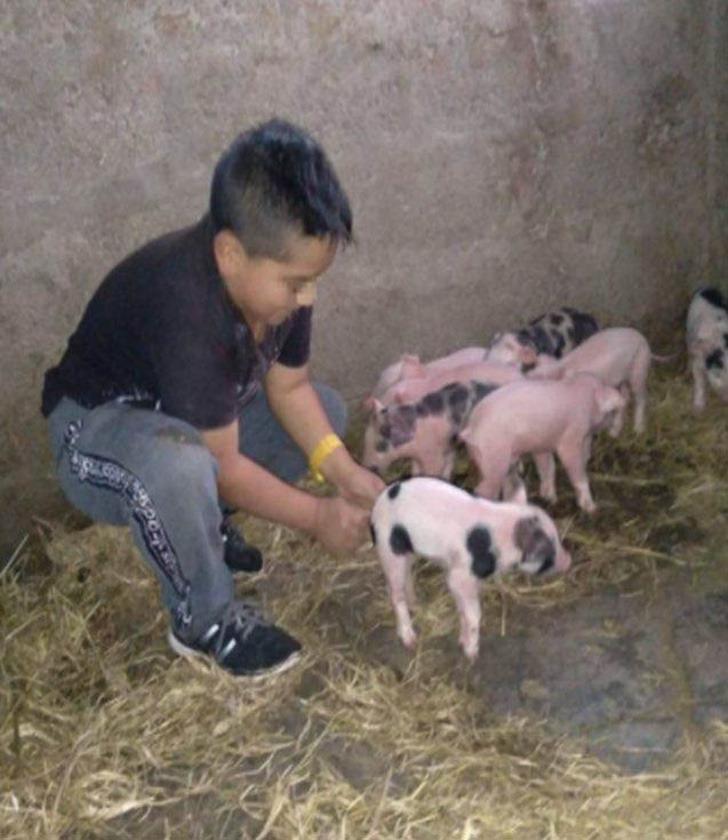 chico tarea cerdos0001 - Dijo al maestro que no pudo enviar la tarea, porque estaba ayudando a parir a sus cerdos. Era verdad