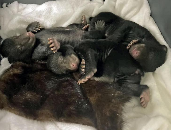 602ee765b5c46.image  - Una osa y sus crías son reunidas luego de separarse en una cabaña. El dueño las recibió en su hogar