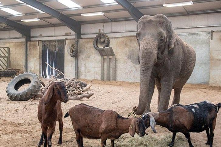 Captura de Pantalla 2021 02 15 a las 18.06.21 - Elefanta pasó de ser maltratada en un circo a una vida tranquila de safari. Es el retiro que merece