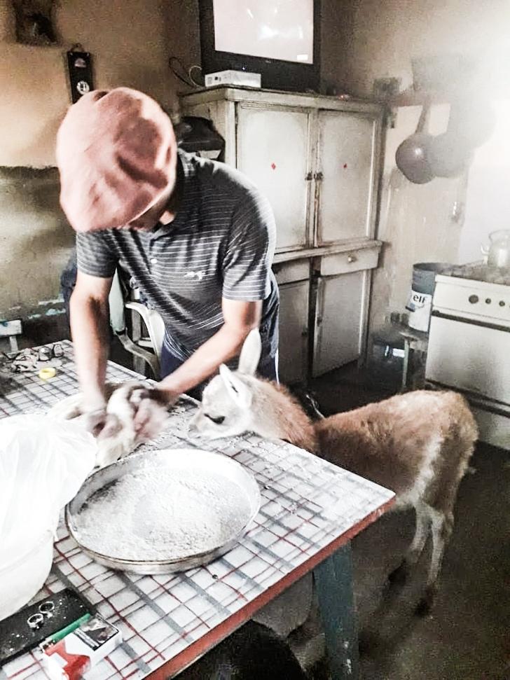 WhatsApp Image 2021 02 02 at 4.24.11 PM 1 - Joven adopta a un guanaco abandonado y lo convierte en su ayudante de cocina. Es muy inteligente
