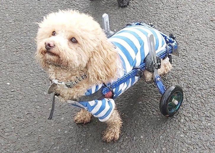 Captura de Pantalla 2021 03 12 a las 12.59.07 - Lo salvaron de un matadero en China y ahora es un perro de terapia. Entrega ayuda en silla de ruedas