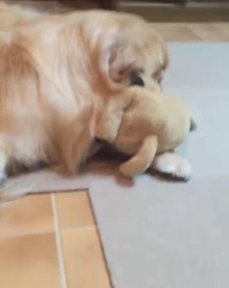 Captura de Pantalla 2021 04 01 a las 18.12.33 - Perrito ama jugar en el suelo con su peluche como si fuera un niño. Lo alza con sus patas al aire
