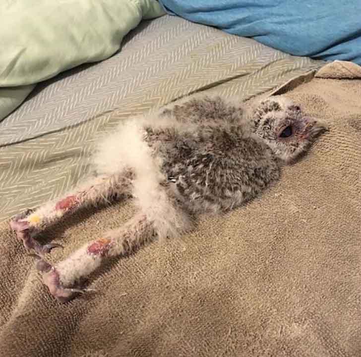 buhos bebes durmiend006 - ¿Qué le pasó? 20 fotografías de búhos bebés durmiendo boca abajo. Como tú después de una fiesta