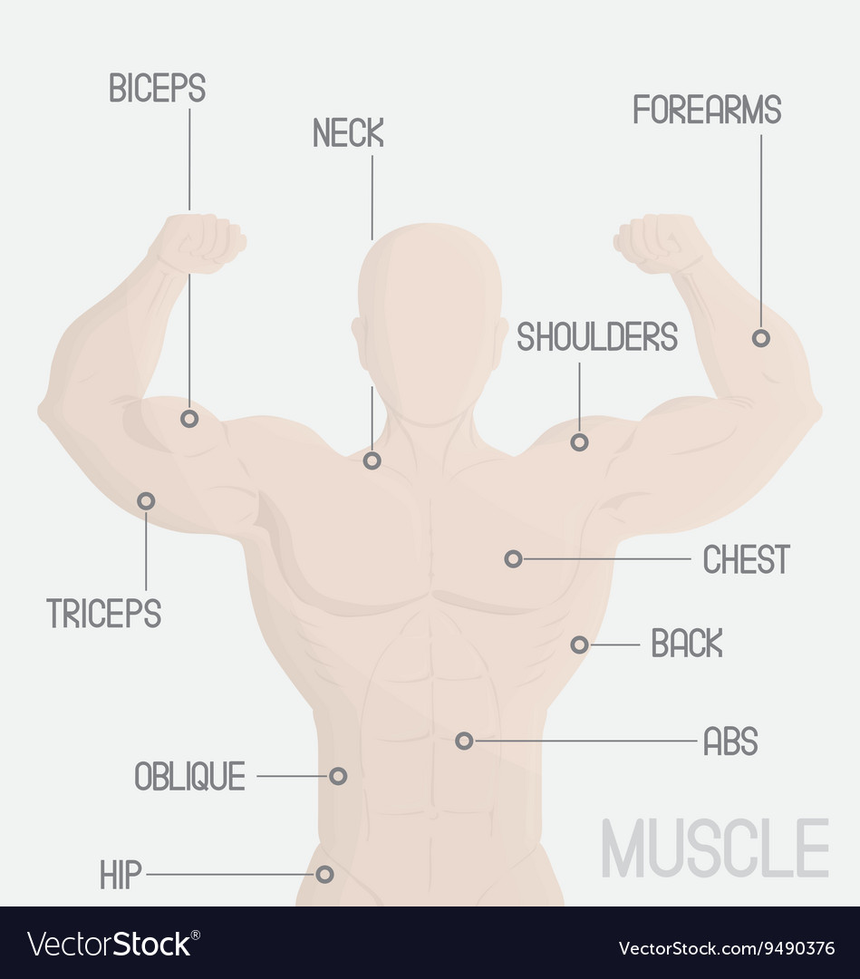 hight resolution of male part muscle gym vector image