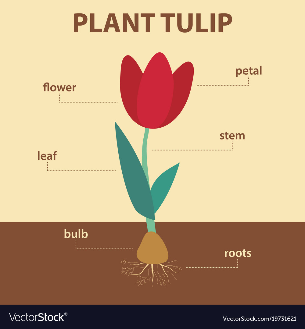 parts of a flowering plant diagram earthwork mass excel sheet showing tulip whole vector image