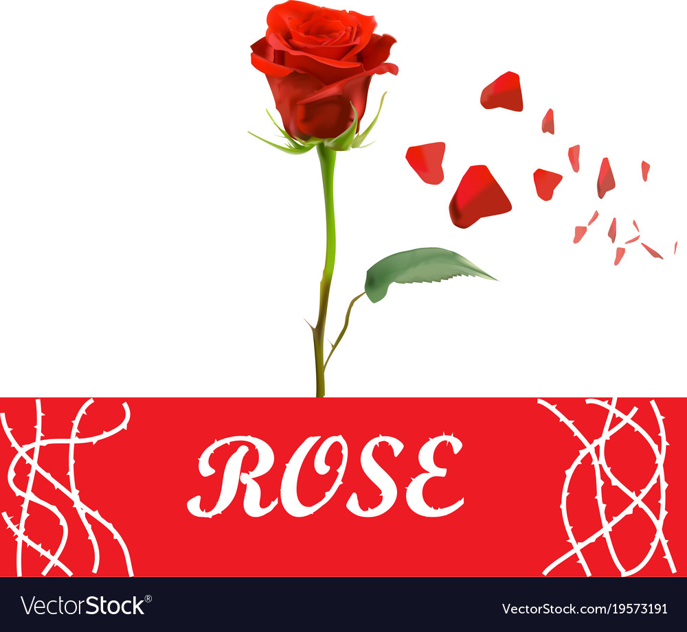 realistic red rose and