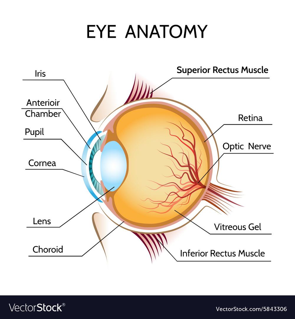hight resolution of eye anatomy vector image