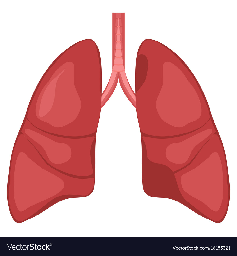 hight resolution of human lung anatomy diagram vector image