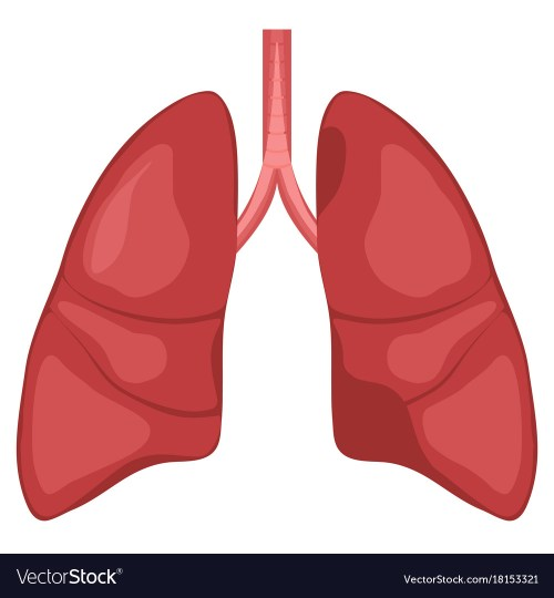 small resolution of human lung anatomy diagram vector image