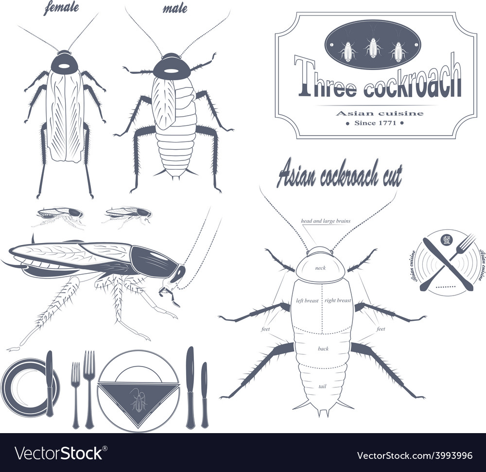 hight resolution of asian cockroach vector image