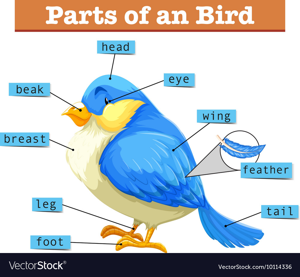 hight resolution of different parts of little blue bird vector image